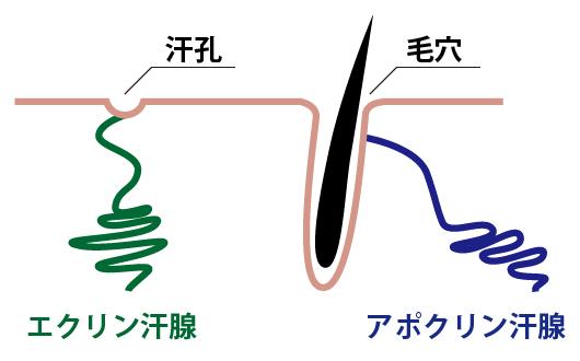 汗腺と毛穴の違い